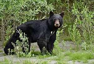 Американские медведи отдают предпочтение Subaru Outback